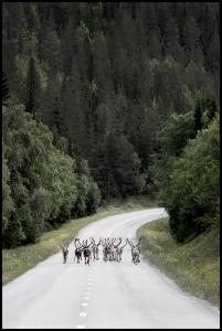 Bildverkstad Reindeer road Poster