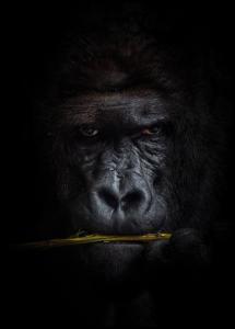 Lagervaror egen produktion Mysterious gorilla Poster