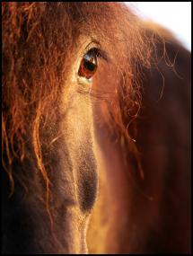 Bildverkstad Horse sunset Poster