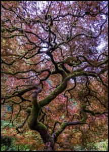 Lagervaror egen produktion Japanese Maple Tree Poster