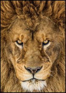 Bildverkstad Serious Lion Poster